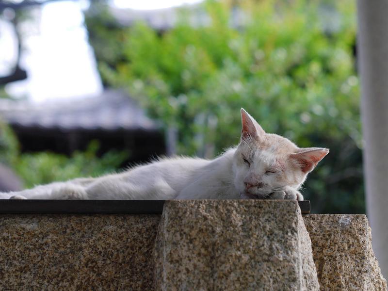 井戸と長老の白茶猫