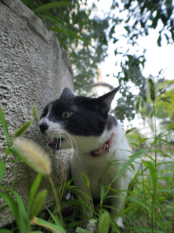 エノコロ草の葉を喰う白黒猫1