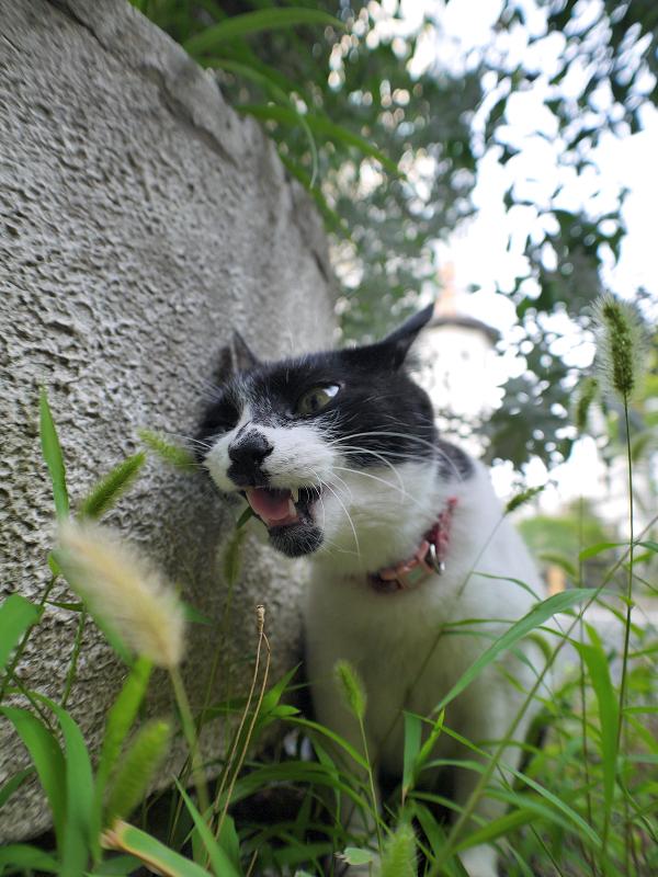エノコロ草の葉を喰う白黒猫2