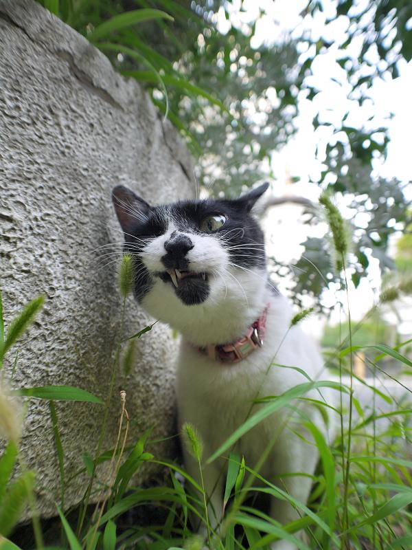 エノコロ草の葉を喰う白黒猫3