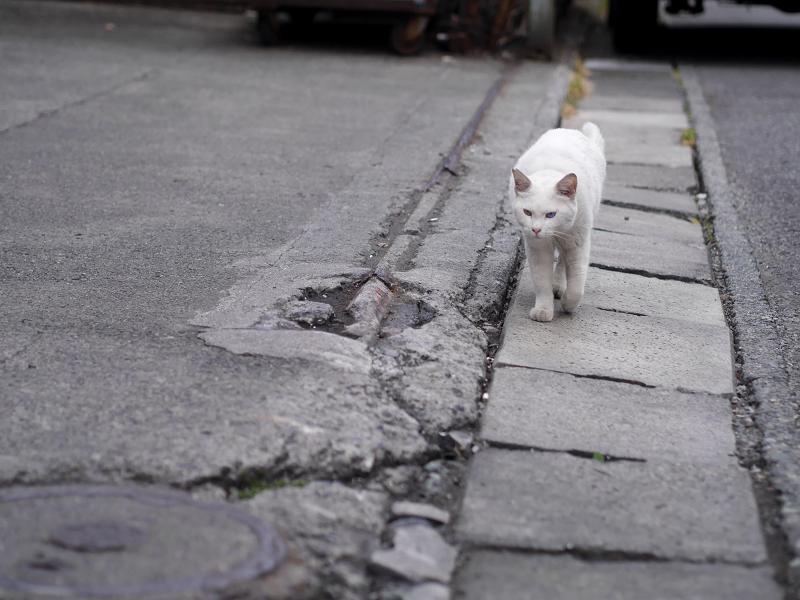 側溝蓋と白猫1