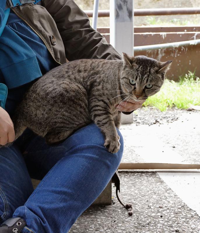 膝に乗っちゃったキジトラ猫