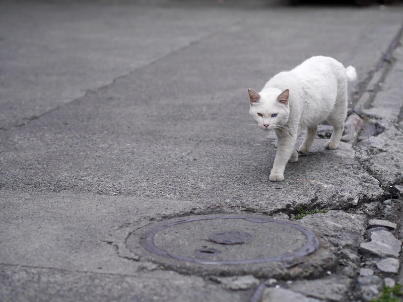 側溝蓋と白猫2