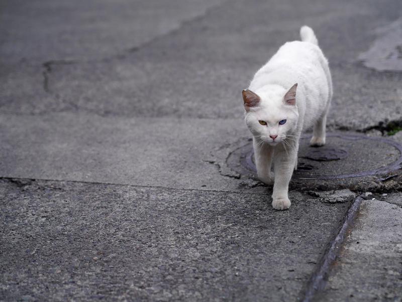 側溝蓋と白猫3