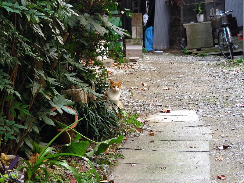 民家路地と茶白猫1