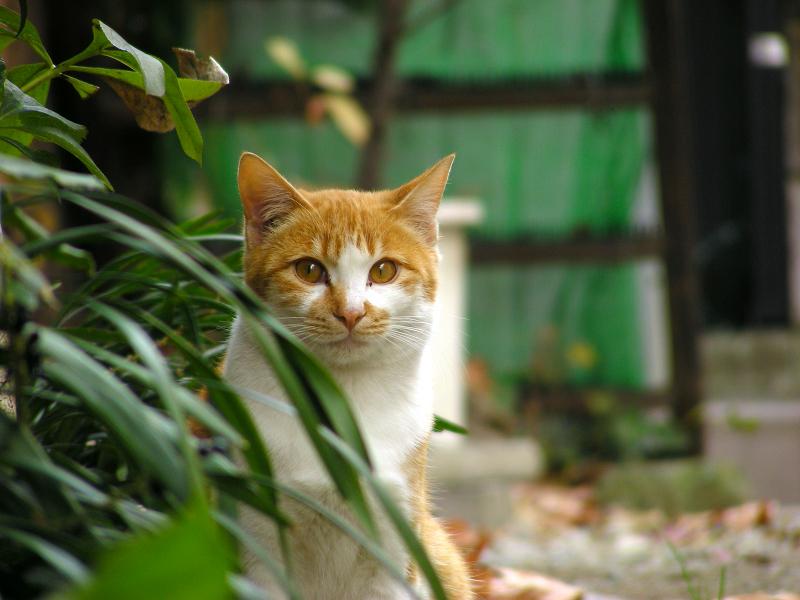 民家路地と茶白猫2