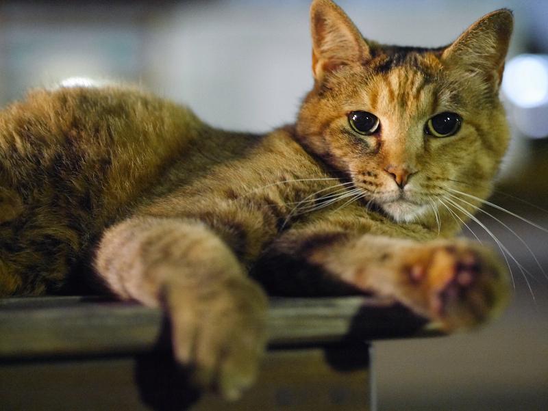 夜ベンチの上のサビ柄猫1