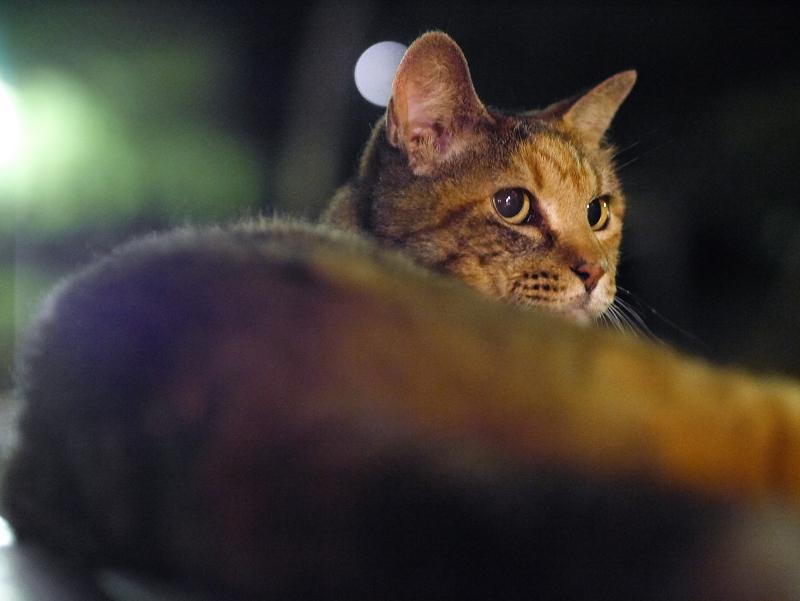 夜ベンチの上のサビ柄猫2
