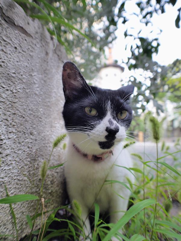 エノコロ草の葉っぱを千切る白黒猫1