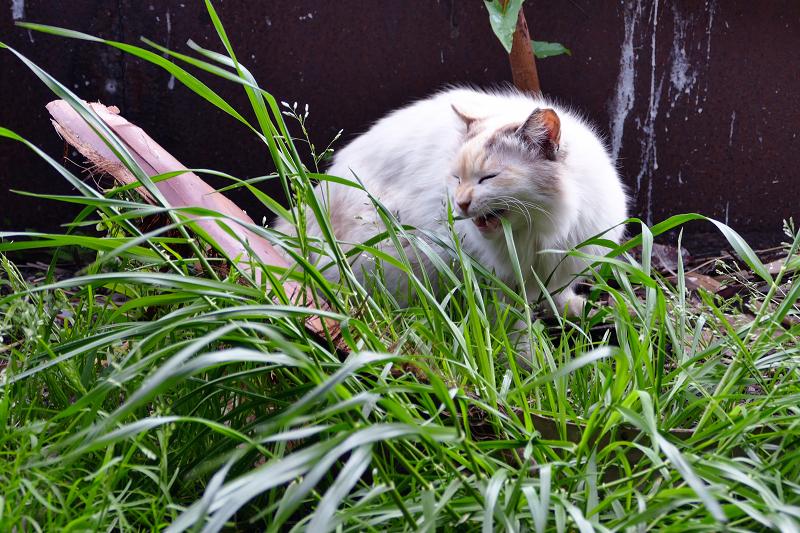 草の葉を食い千切る毛長の猫1