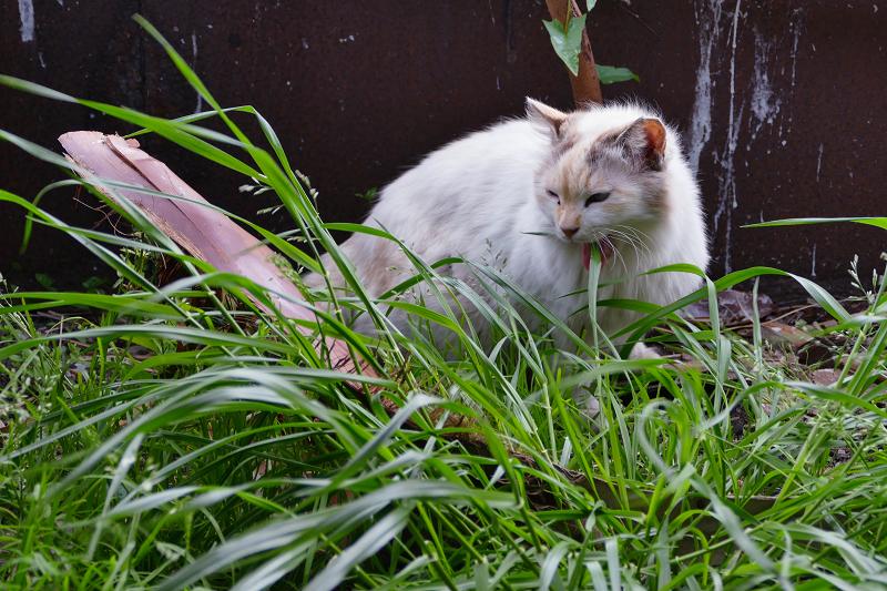 草の葉を食い千切る毛長の猫2