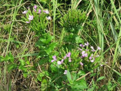 7 ハマナデシコの花