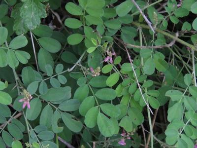 2 マルバハギの花