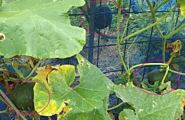 庭にできたかぼちゃ3個