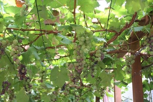 ぶどうの樹 2017-8-18-3