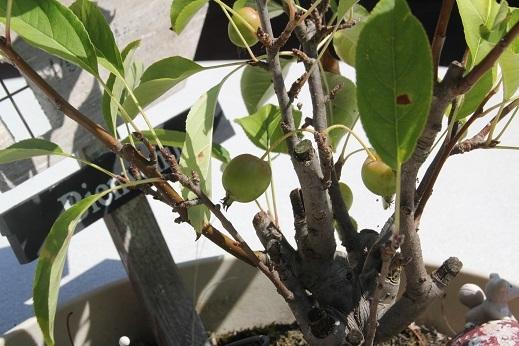 ぶどうの樹 2017-8-18-9