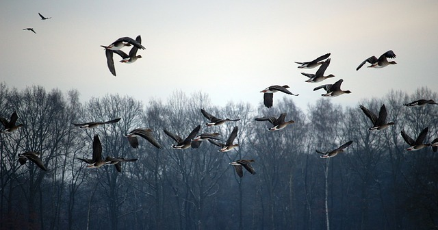 wild-geese-1150000_640.jpg