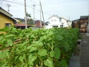 向日葵畑 もうすぐです