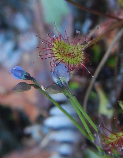 ムラサキミミカキグサの花とモウセンゴケの葉