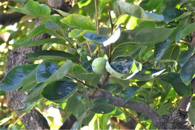 熟れる前の柿の木