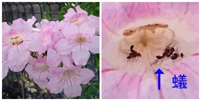 ピンクの花と蟻