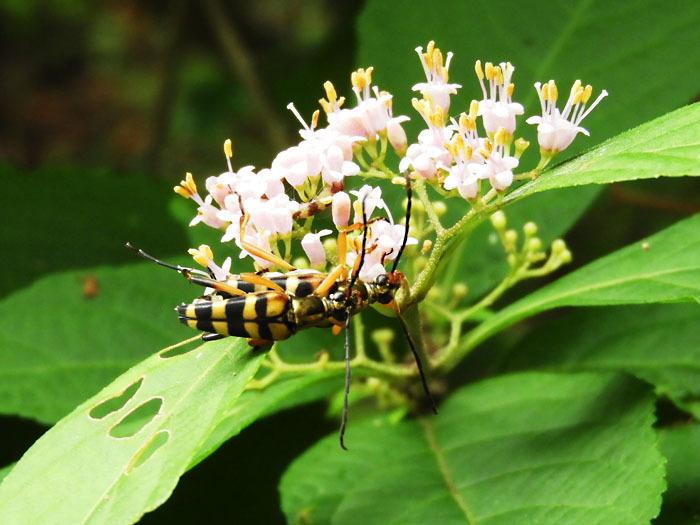ムラサキシキブ甲虫