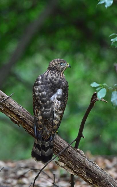12268-オオタカ幼鳥-1
