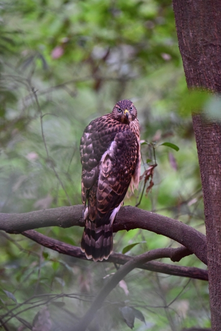 12269-オオタカ幼鳥-2