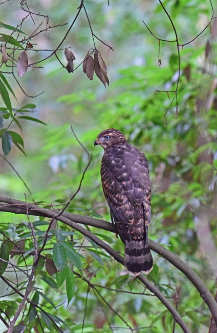 12272-オオタカ幼鳥-5