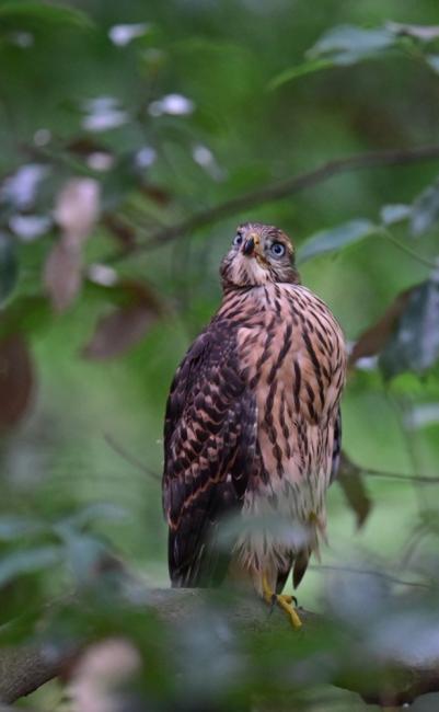 12273-オオタカ幼鳥-6