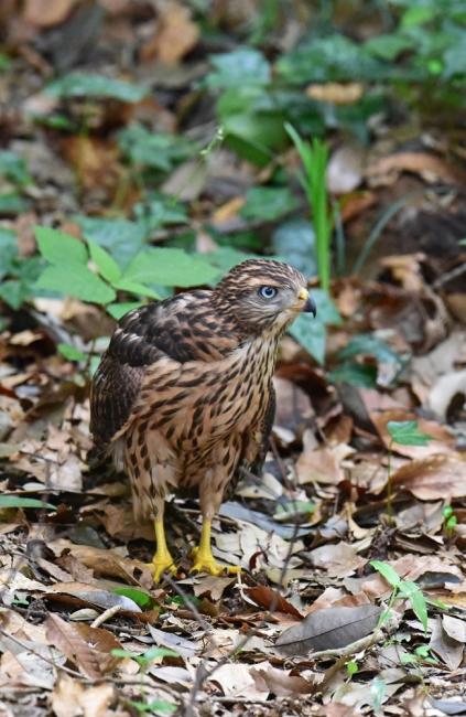 12274-オオタカ幼鳥-1