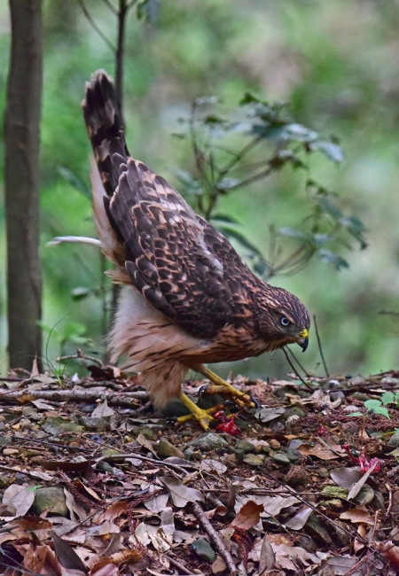 12276-オオタカ幼鳥-3