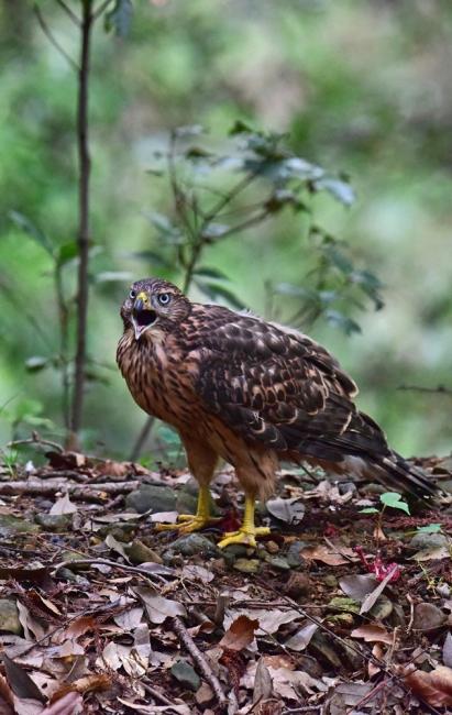 12278-オオタカ幼鳥-5