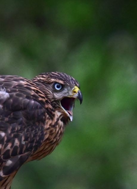 12279-オオタカ幼鳥-6
