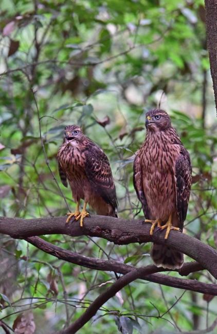 12280-オオタカ幼鳥-1