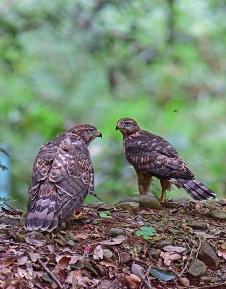 12285-オオタカ幼鳥-6