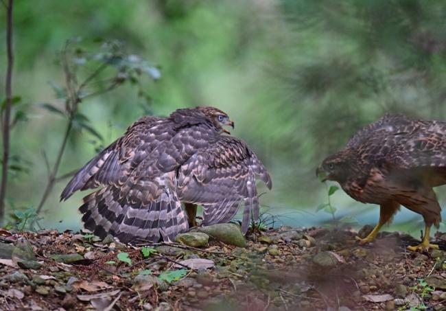 12286-オオタカ幼鳥-1
