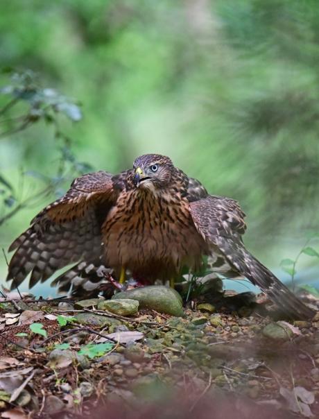 12291-オオタカ幼鳥-6