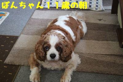 ぽんちゃん11歳 (5)