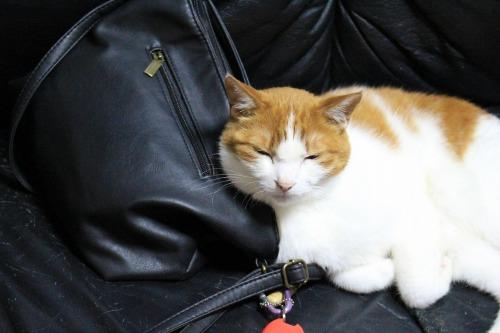 ブログNo.1026(悪顔の枕猫)2
