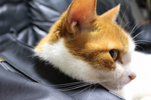 ブログNo.1026(悪顔の枕猫)7