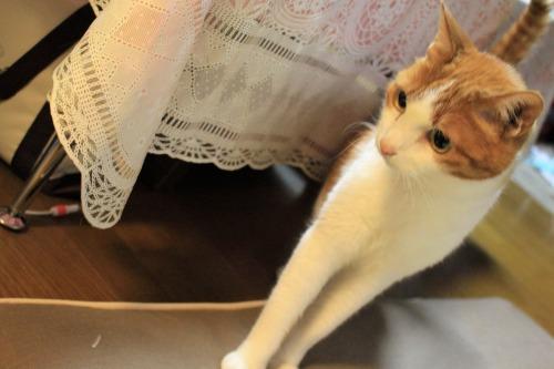 ブログNo.1048(布団クリーナーに警戒する猫)1
