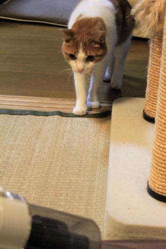 ブログNo.1049(布団クリーナーに警戒する猫)1