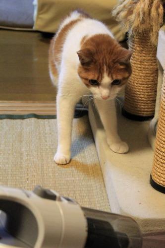 ブログNo.1049(布団クリーナーに警戒する猫)2