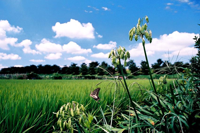 夏の田圃01