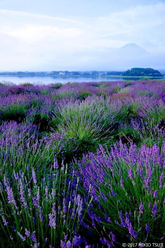 絶景探しの旅 - 0289 富士山とラベンダー (大石公園/山梨県 富士河口湖町)