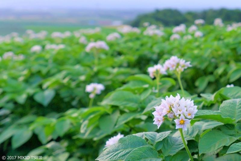 絶景探しの旅 - 0300 ジャガイモの花畑 (パレットの丘 北海道 千歳市)