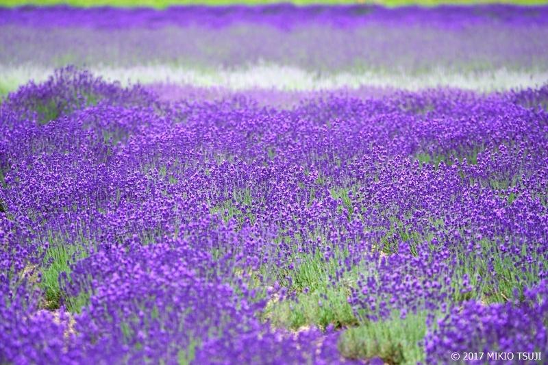 0303 ラベンダーの絨毯 (ファーム富田/北海道 中富良野町)