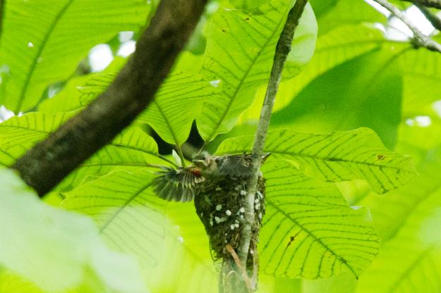 巣立ちを迎えるサンコウチョウ