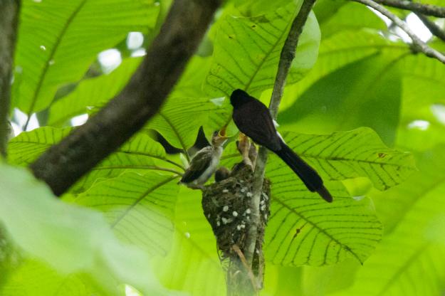 サンコウチョウ巣立ち
